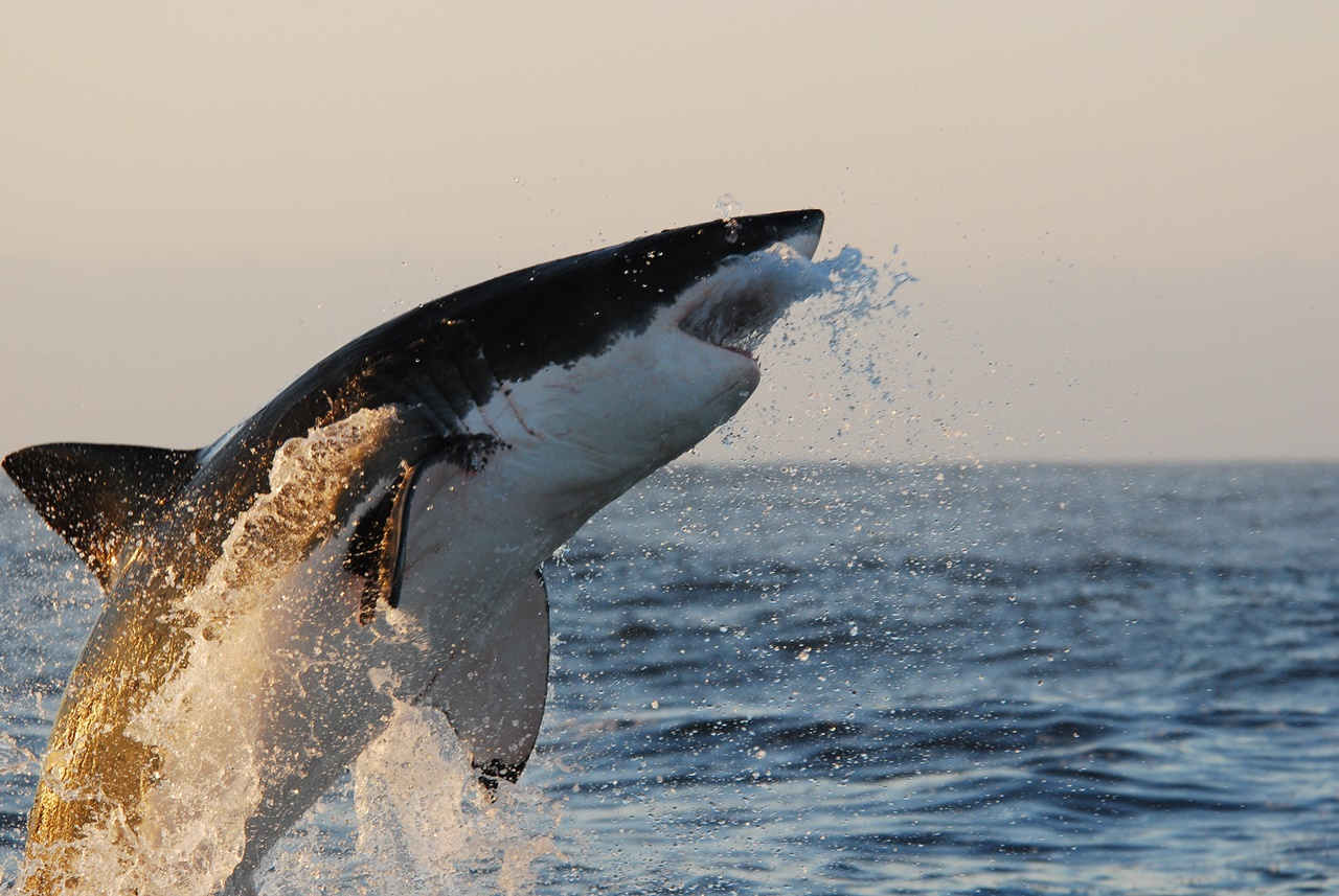 NGC: SHARK ATTACK EXPERIMENT LIVE! IBMS: 036791 Ep code: 7769